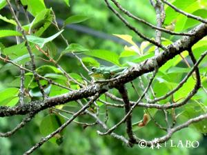 木の上に棲むシュレーゲルアオガエル